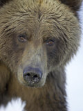 Grizzly Bear  Portrait of Adult Female  Alaska