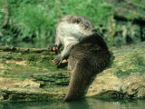 European Otter  Shows Webbed Feet  UK