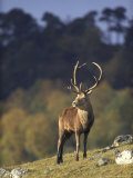 Red Deer  Stag on Hillside in Autumn  Scotland