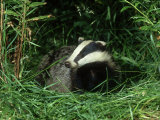 Badger  Amongst Vegetation  UK