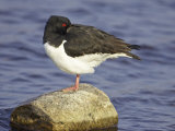 Oystercatcher  Adult Resting  Scotland