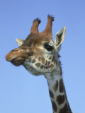Giraffe  Close-up Portrait