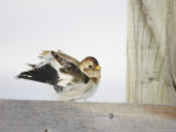 Snow Bunting  Adult Female Preening  Scotland