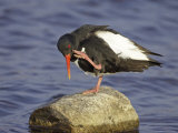 Oystercatcher  Adult Scratching  Scotland