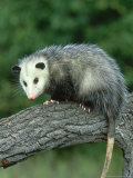 Opossum on Branch  USA