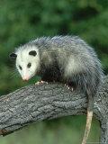 Opossum on Branch  USA