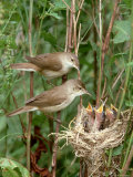 Reed Warbler  Acrocephalus Scirpaceus Pair at Nest with Chicks  UK