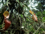 Kinabalu Pitcher Plant  Mount Kinabalu  E Malaysia