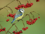Blue Tit  Perched on Berries