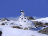 Ptarmigan  Male in Winter Plumage on Snow  UK