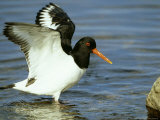 Oystercatcher  Wings Raised  Scotland