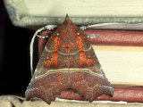 Herald Moth on Stack of Books  Devon