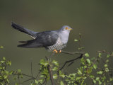 Cuckoo  Male Perched on Silver Birchsapling  UK