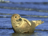 Grey Seal  Pup Resting on Edge of Water  UK