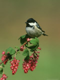 Coal Tit  Perched on Wild Currant Blossom  UK