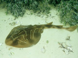 Fiddler Ray  Wool Bay  Australia