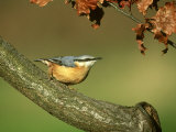 Nuthatch  Sitta Europaea Perched on Log in Autumn UK