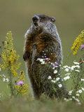 Marmotte d'Amérique Papier Photo par Mark Hamblin