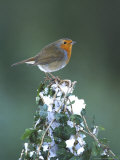 Robin on Ivy-Covered Stump in Snow  UK