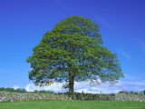 Common Oak  Near Bradwell  White Peak  Peak District National Park  UK