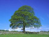 Common Oak  Near Bradwell  White Peak  Peak District National Park  UK