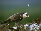 Peregrine Falcon  Adult Plucking Prey  Scotland