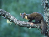 Pine Marten  Young on Branch  July Highlands  Scotland