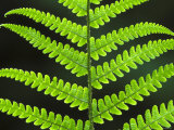Male Fern  Close-up of Underside of Frond  UK