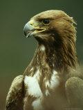 Golden Eagle  Portrait of Adults  Scotland
