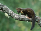 Pine Marten  Martes Martes Youngster on Branch  Scotland