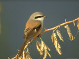 Rufous-Backed Shrike  Perched on Thorn Bush  N India
