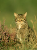Scottish Wildcat  Felis Sylvestris Pure-Bred Male  August Highlands  Scotland