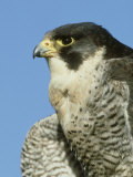 Peregrine Falcon  Close-up Portrait of Adult Male  UK