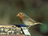 Robin  Feeding on Table  UK