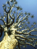 Quiver Tree Aloe Dichotoma  South Africa