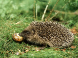 Hedgehog  Youngster Feeding on Snail  UK