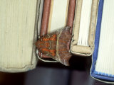 Herald Moth on Books  Devon