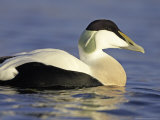 Eider  Adult Male in Breeding Plumage  Scotland