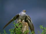Cuckoo  Wings Outstretched  Scotland