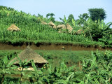 Banana Plantation and Traditional Mud &amp; Thatch Huts  E Uganda