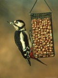 Great Spotted Woodpecker  Dendrocopos Major  Feeding on Wire Peanut Holder