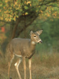 White-Tailed Deer  Odocoileus Virginianus Doe in Clearing  Autumn Foliage  USA