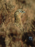 Red Grouse  Female  Yorks Dales