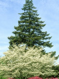 Azalea  Dogwood and Norway Spruce Tree
