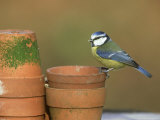 Blue Tit  Perched on Flower Pots  UK