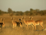 Impala  Aepyceros Melampus Melampus Females in Dry Grassland Botswana  Southern Africa