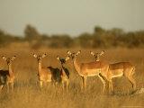 Impala  Aepyceros Melampus Melampus Females in Dry Grassland Botswana  Southern Africa