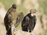 Andean Condor  Adult Male with Juvenile Female  Colca Canyon  Southern Peru