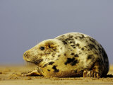 Grey Seal  Portrait of Adult Female on Sand Bar (Breeding Grounds)  UK