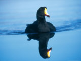Giant Coot  Endemic to High Andes  Lauca National Park  Chile
